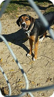 Beagle Mix Dog for adoption in Portland, Indiana - Rosie