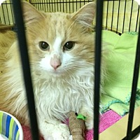 Domestic Longhair Cat for adoption in Byron Center, Michigan - Tony Montana