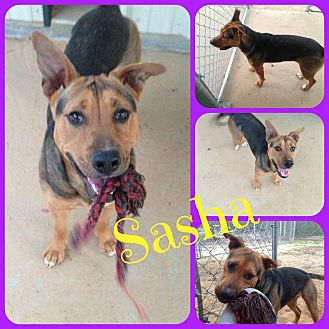Black Mouth Cur/Shepherd (Unknown Type) Mix Dog for adoption in Ft Worth, Texas - Sasha