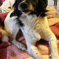 Papillon Mix Dog for adoption in Trenton, New Jersey - Teddy
