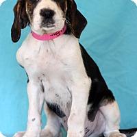 Adopt A Pet :: LeFou - Waldorf, MD