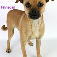 Adopt A Pet :: Finnegan - Bloomington, MN
