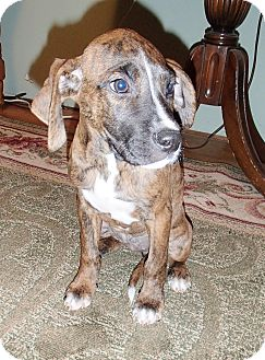 Boxer/German Shorthaired Pointer Mix Puppy for adoption in Bedford, Virginia - Boxy