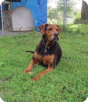 Doberman Pinscher/Boxer Mix Dog for adoption in Geneseo, Illinois - Taz