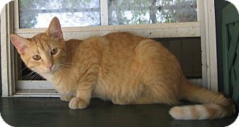 Domestic Shorthair Cat for adoption in Bulverde, Texas - Grover