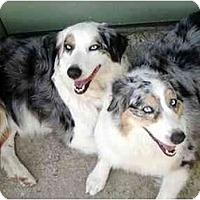 Adopt A Pet :: Blue & Buffer - Orlando, FL