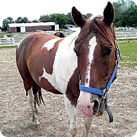Paint/Pinto for adoption in Woodstock, Illinois - Sonny