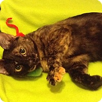 Domestic Shorthair Cat for adoption in Houston, Texas - Elsa