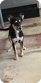 Terrier (Unknown Type, Medium)/Sheltie, Shetland Sheepdog Mix Dog for adoption in Battle Creek, Michigan - Georgia