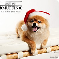 Adopt A Pet :: Muffin-Pending Adoption - Omaha, NE