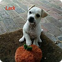 Adopt A Pet :: Lark - Gainesville, FL