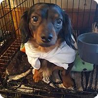 Adopt A Pet :: Balducci - Lubbock, TX