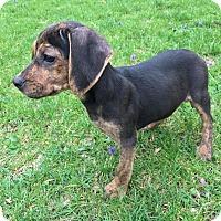 Adopt A Pet :: Billie (RBF) - Washington, DC