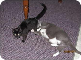 Domestic Shorthair Cat for adoption in Richfield, Ohio - Georgie