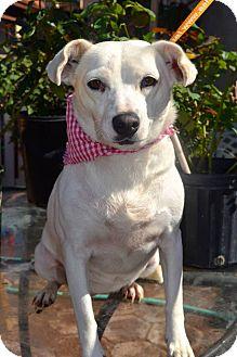 Terrier (Unknown Type, Medium)/Beagle Mix Dog for adoption in San Diego, California - Blanquita