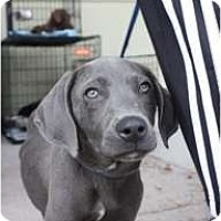 Adopt A Pet :: Ash - Arlington, TX