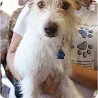 Adopt A Pet :: Peewee - Arlington, TX