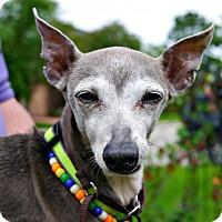 Adopt A Pet :: Saul in Houston Area - Argyle, TX