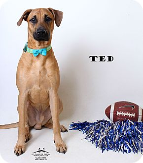 Labrador Retriever/Black Mouth Cur Mix Dog for adoption in Luling, Louisiana - Ted