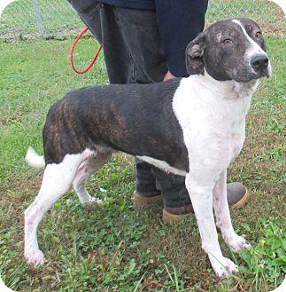 Pointer/Terrier (Unknown Type, Medium) Mix Dog for adoption in Reeds Spring, Missouri - Asher