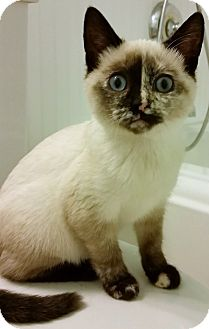 Siamese Kitten for adoption in Chattanooga, Tennessee - Idina