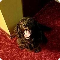 Cocker Spaniel Mix Dog for adoption in Manhattan, Kansas - Molly