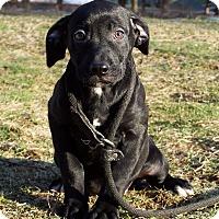 Adopt A Pet :: Sage - Milford, NJ