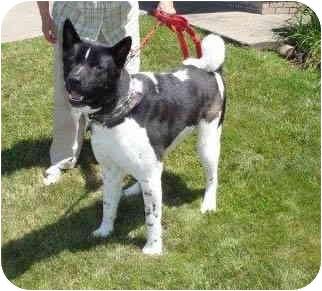 Akita Dog for adoption in Hayward, California - Yuukan