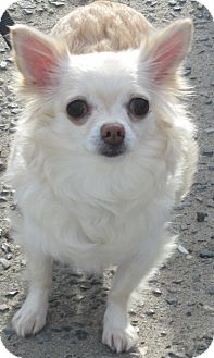 Chihuahua Dog for adoption in Forked River, New Jersey - Sugar