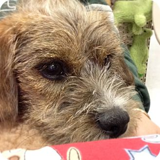 Norfolk Terrier/Terrier (Unknown Type, Small) Mix Puppy for adoption in Shirley, New York - Monkey
