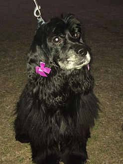 Cocker Spaniel Dog for adoption in Portsmouth, New Hampshire - Tanya