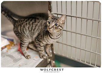 Domestic Shorthair Cat for adoption in Fredericksburg, Virginia - Minnie/MAC