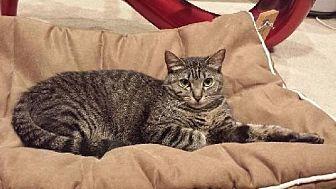 Domestic Mediumhair Cat for adoption in Santa Monica, California - Tammy