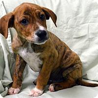 Adopt A Pet :: Pepsi - Erwin, TN