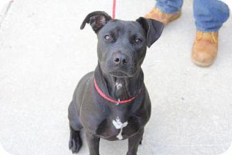 Pit Bull Terrier Mix Dog for adoption in Greensboro, North Carolina - Diva