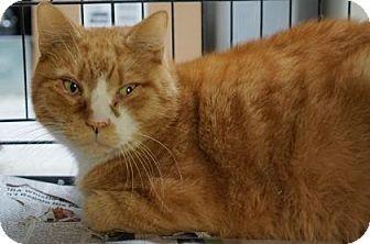 Domestic Shorthair Cat for adoption in Brooklyn, New York - Toemanagi