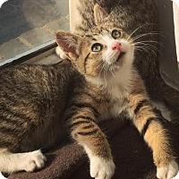 Adopt A Pet :: Lentil - Brooklyn, NY