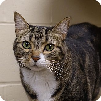 Domestic Shorthair Cat for adoption in Columbia, Illinois - Baby