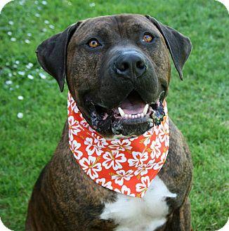 Mastiff Mix Dog for adoption in Lompoc, California - Max