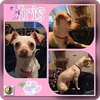 Adopt A Pet :: Iris - Las Vegas, NV