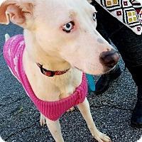 Adopt A Pet :: Violet - Decatur, GA