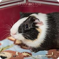 Adopt A Pet :: Squeeky - Sheboygan, WI
