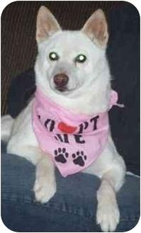 Shiba Inu Dog for adoption in Round Lake, Illinois - Tika- KS