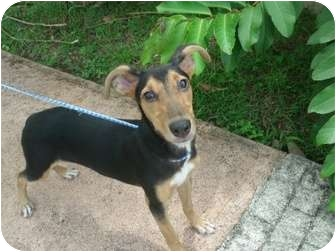 Greyhound/Rottweiler Mix Dog for adoption in Guaynabo, Puerto Rico - Osis