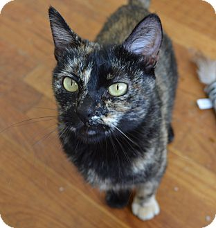 Domestic Shorthair Cat for adoption in San Diego, California - Kaylee