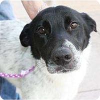 Adopt A Pet :: Pepper - Arlington, TX