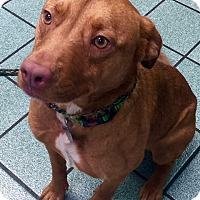 Adopt A Pet :: Petunia - North Bend, WA