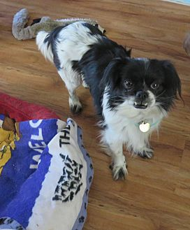 Cavalier King Charles Spaniel/Japanese Chin Mix Dog for adoption in Studio City, California - Safra