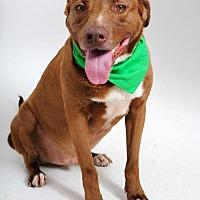 Labrador Retriever Mix Dog for adoption in Thibodaux, Louisiana - Duke K92-8265