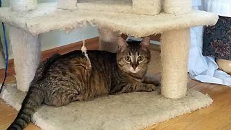Domestic Shorthair Cat for adoption in Hinton, Alberta - Cleo
